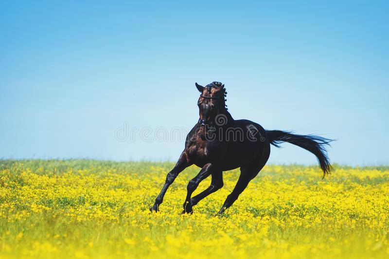Black horse jumps on a blooming yellow field stock photos