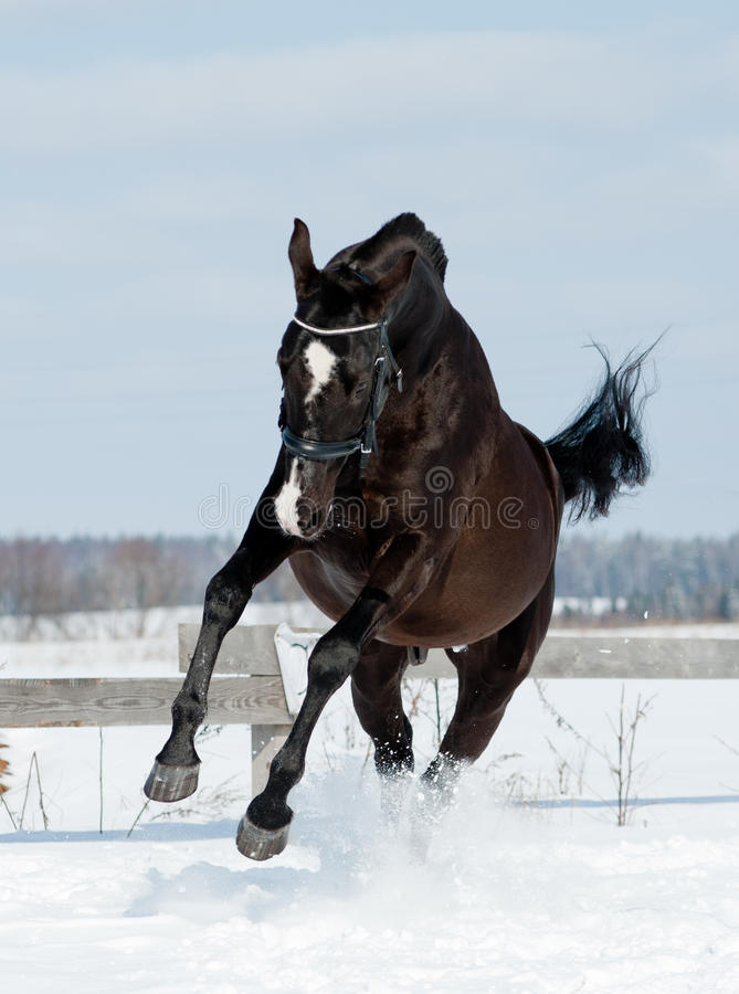 Download Black horse jumps stock image. Image of jump, animal - 33846517