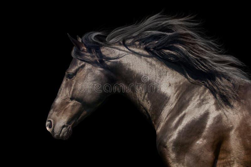 Black horse with long mane. Black stallion in motion portrait on black background stock images