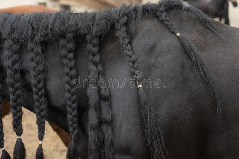 Black Horse. Black mane of a horse stock photography