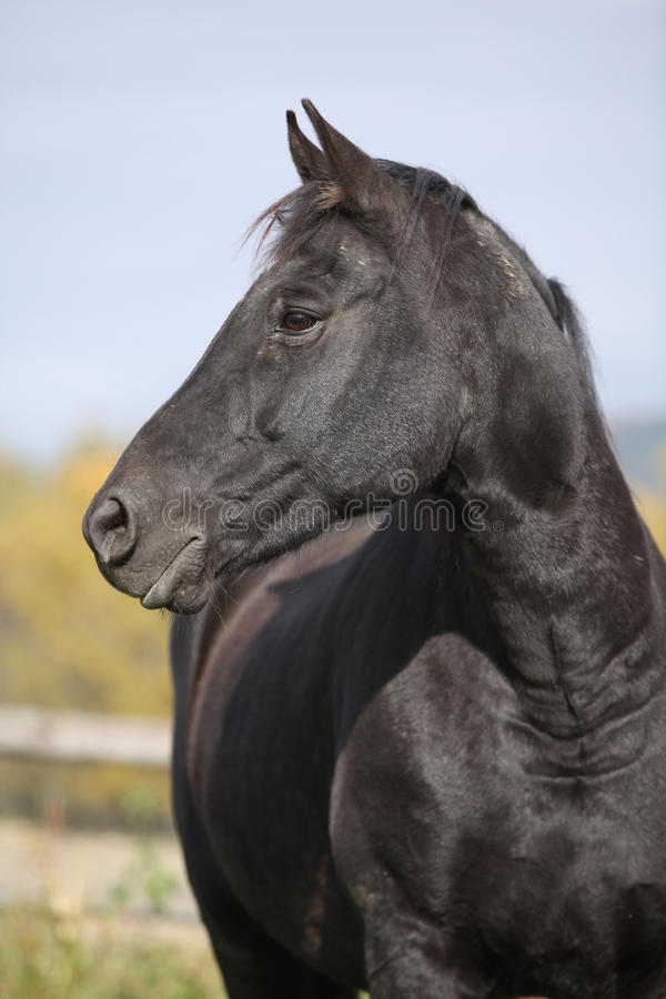 Black horse on pasturage in autumn. Black horse standing on pasturage in autumn royalty free stock photography