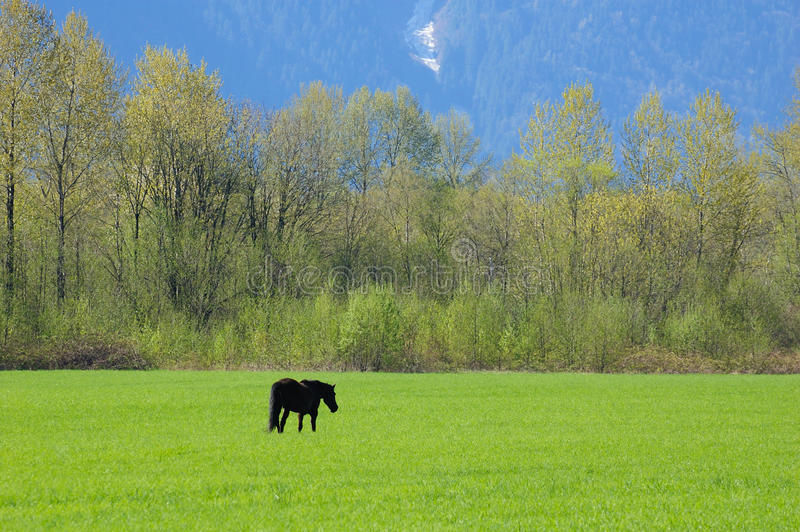 black horse in pasture stock photos
