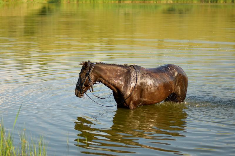 The Black Horse. The picture shows a horse at a watering royalty free stock photography