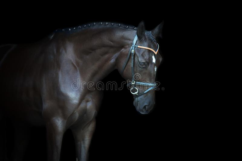 Black horse portrait. On black background stock photo