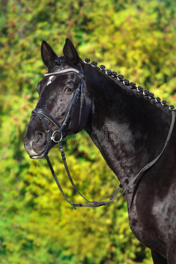 Black horse portrait. In bridle against green tree royalty free stock images