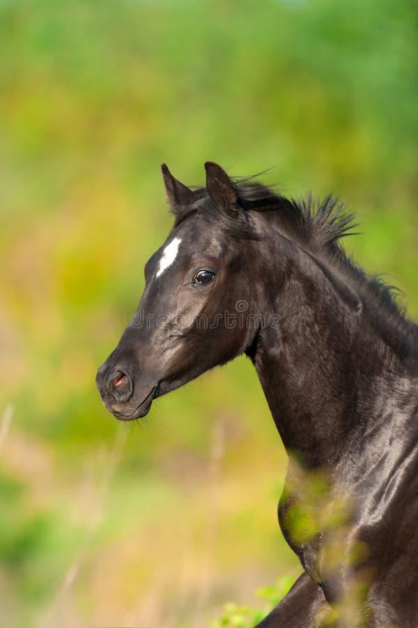 Black horse portrait. Black cute horse portrait in motion stock photos