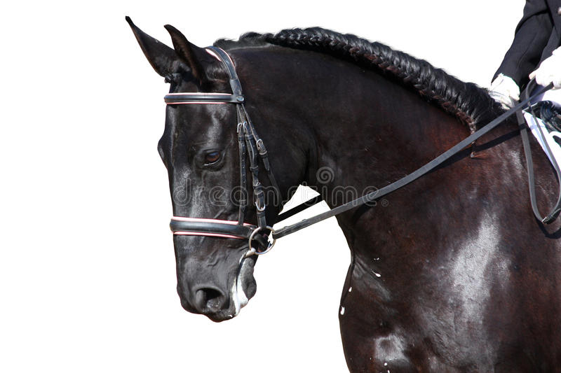 Black horse portrait during dressage competition isolated on white. Black dressage sport horse portrait during isolated on white royalty free stock images