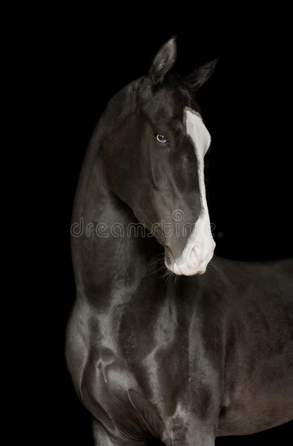 Black horse portrait isolated on black. Black horse portrait isolated on the black royalty free stock photography