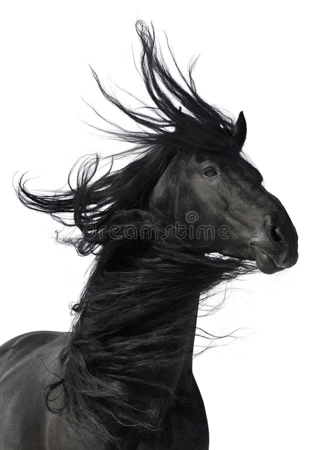 Black horse portrait isolated on white background royalty free stock photography