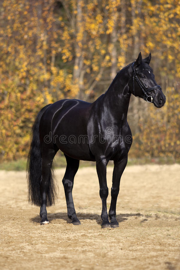 Black horse portrait outside with colorful autumn leaves in background royalty free stock photos