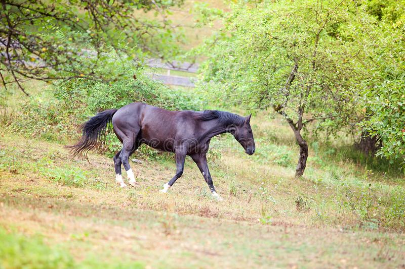 Black Horse run free in meadow royalty free stock images