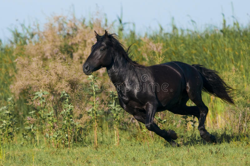 Black Horse running. Through vevetation in Danube Delta royalty free stock photo