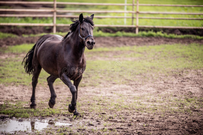 Black horse running. In a fence royalty free stock photography