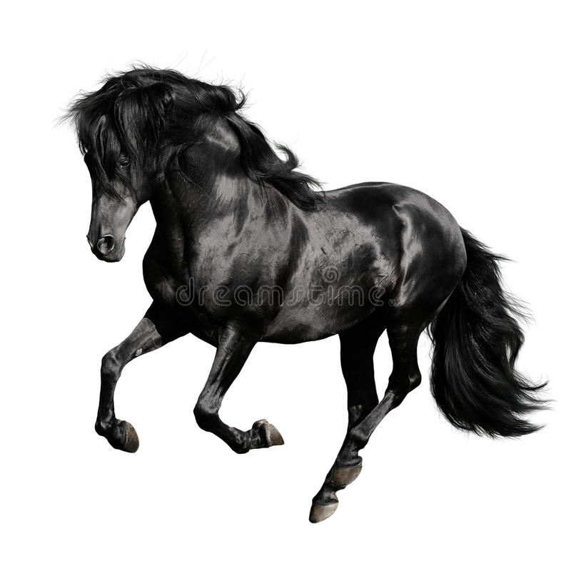 Free Black Horse Runs Gallop Isolated On White Stock Photos - 10838073