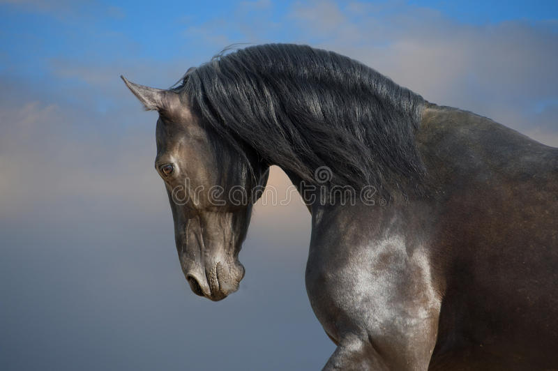 Black horse on the storm clouds background. Black horse portrait on the storm clouds background royalty free stock photography