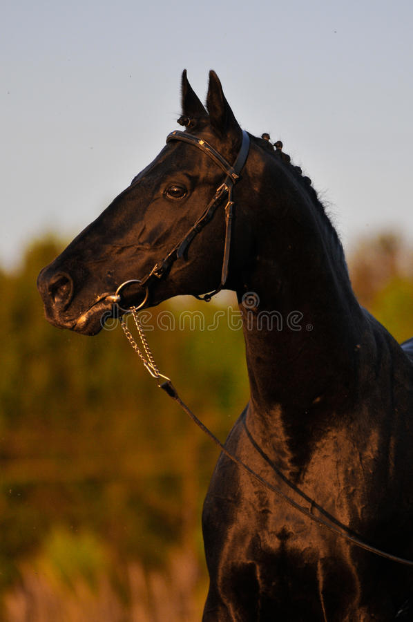 Black horse in sunset royalty free stock photo