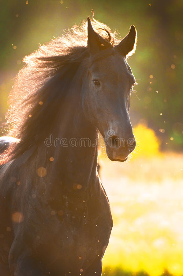 Black horse in sunset golden light. Portrait royalty free stock photos
