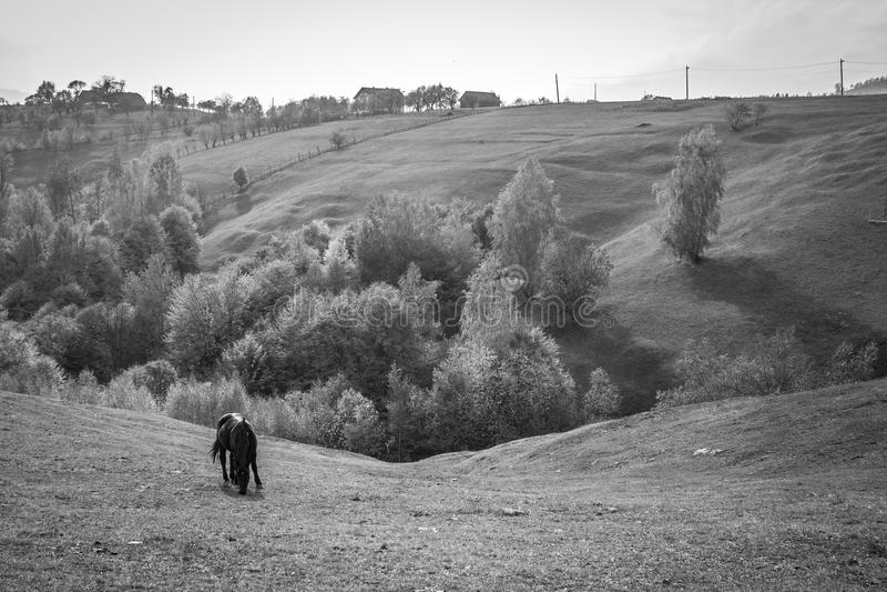 Black horse to pasture stock image