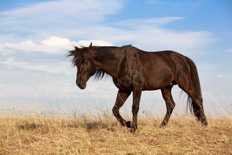 Download Black Horse Stock Image - Image: 31393031