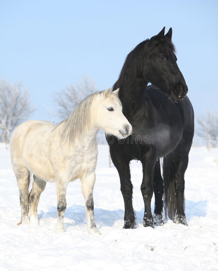 Download Black Horse And White Pony Together Stock Photography - Image: 35567422