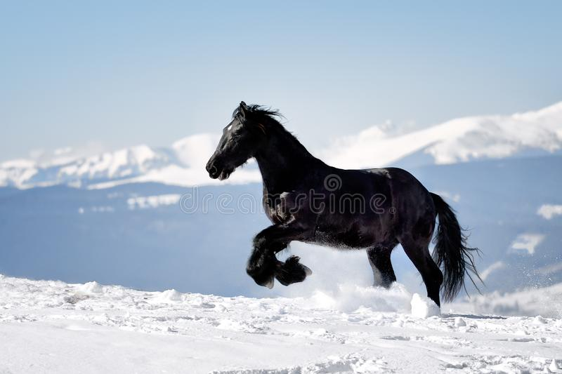 Black Horse in the winter time with mountains in the background stock photography