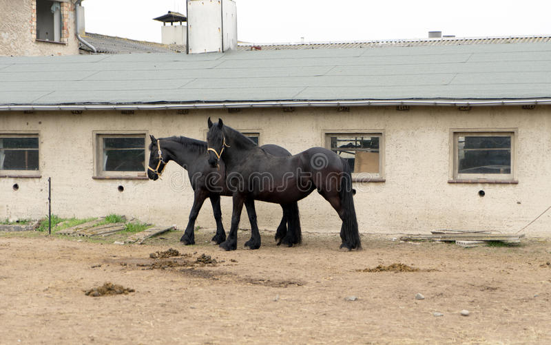 Black Horses. In a paddock stock image