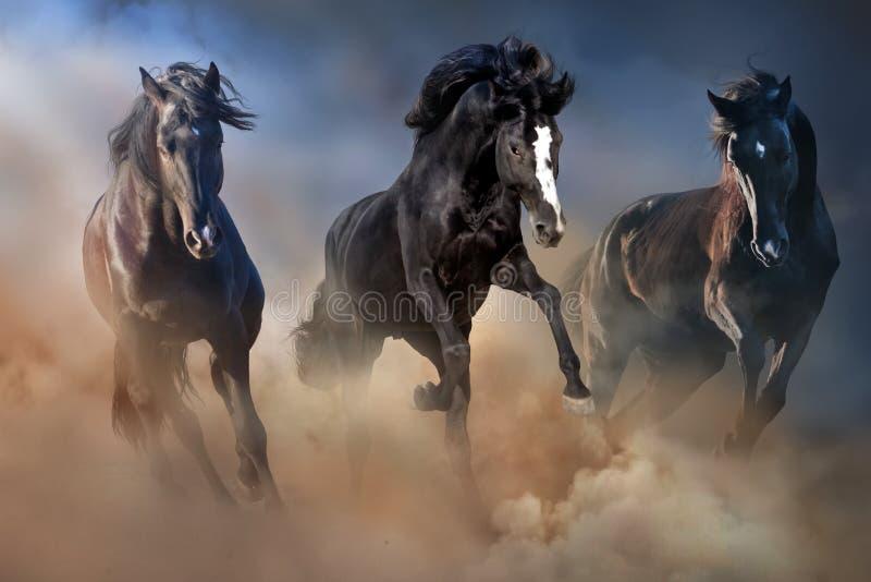 Black horses run. Black stallions run gallop in desert dust against dramatic sky stock image