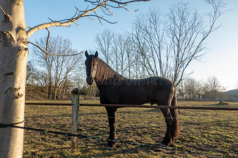 Black horses stand on a meadow and look into the camera stock photo