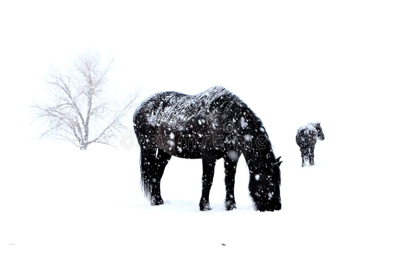 Black horses in a white out blizzard royalty free stock image