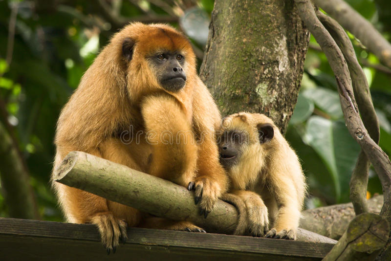 Black howler monkey stock images