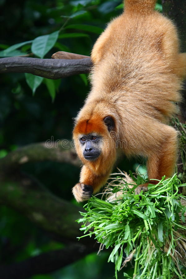 Black Howler Monkey stock photos