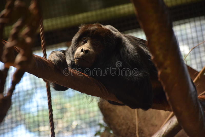 Black Howler Monkey (Alouatta caraya) stock photos