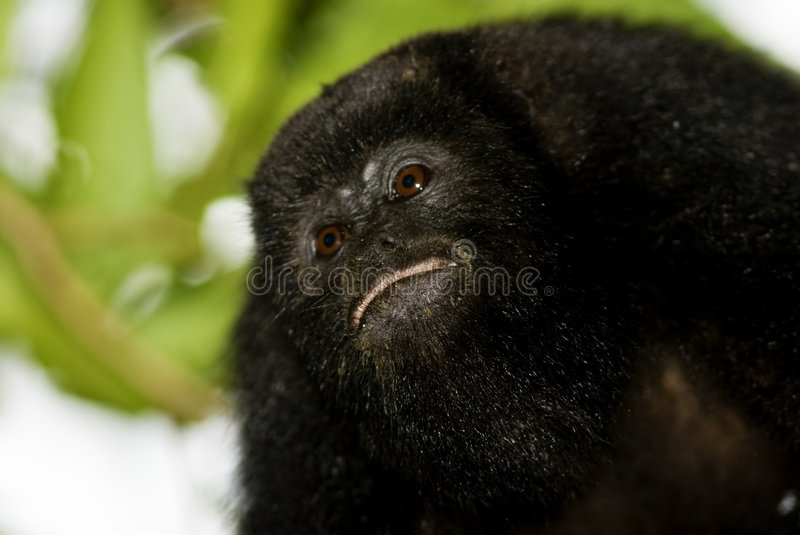 Black howler monkey portrait royalty free stock photo