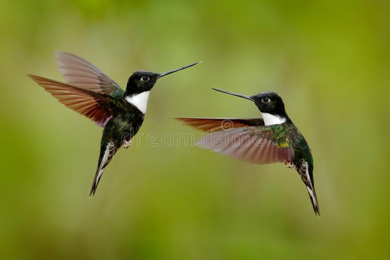 Black hummingbird Collared Inca, Coeligena torquata, dark green black and white hummingbird flying bird fight, Colombia. Wildlife royalty free stock photo
