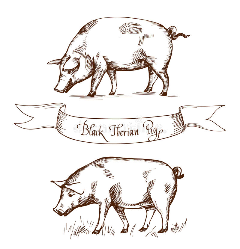 Black Iberian Pig. Vector illustration in Vintage engraving style. Can be used as grunge label or sticker image. Isolated royalty free illustration