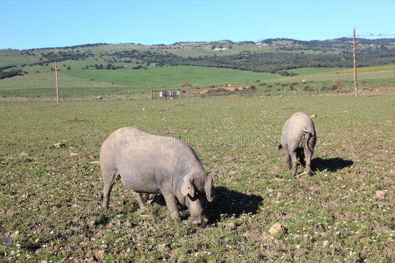 Black Iberian pigs stock images