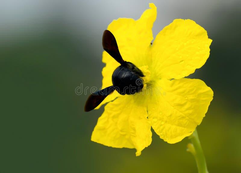 Black Bee on Yellow Flower stock image