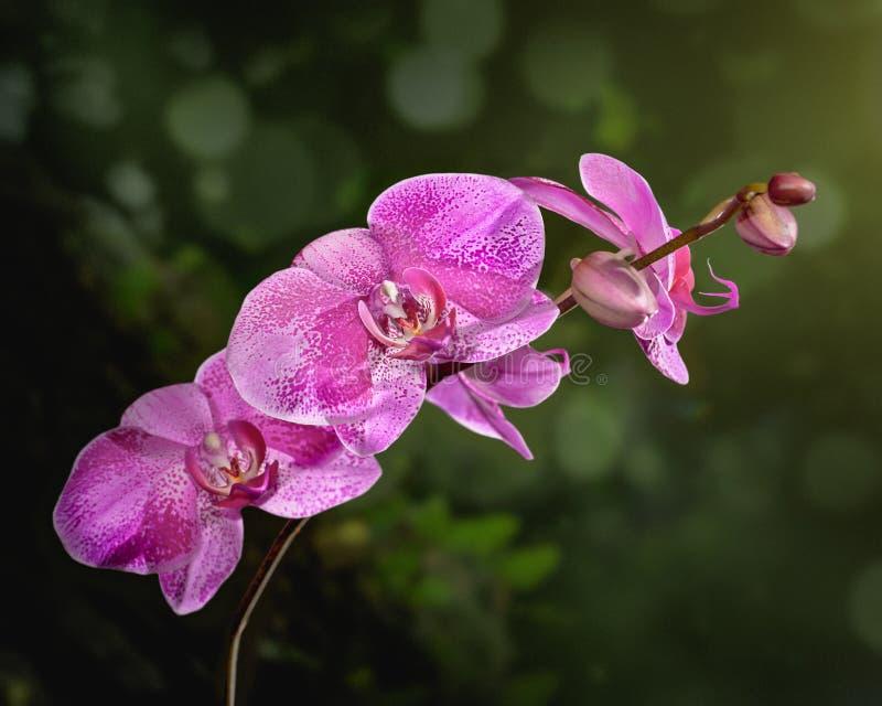 black isolerad orchidpink arkivbilder