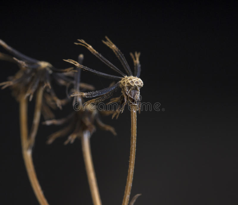 Black Jack. A close-up of a dead Black Jack plant royalty free stock photos