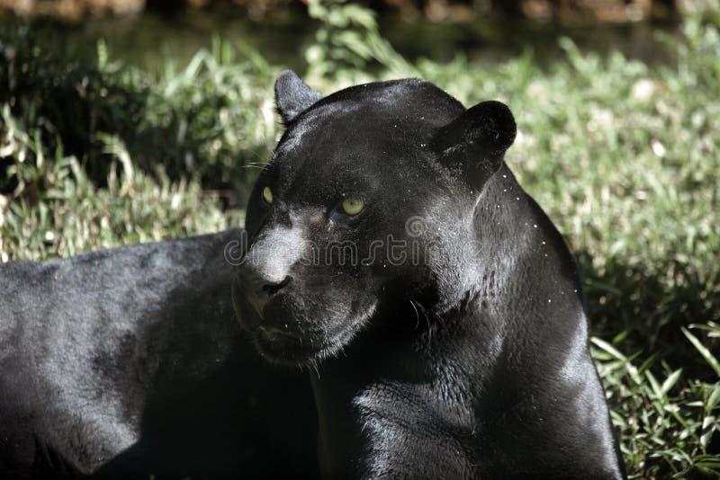 Black Jaguar royalty free stock photography