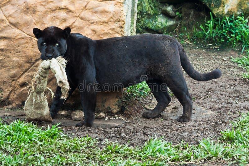 Black Jaguar Stock Image