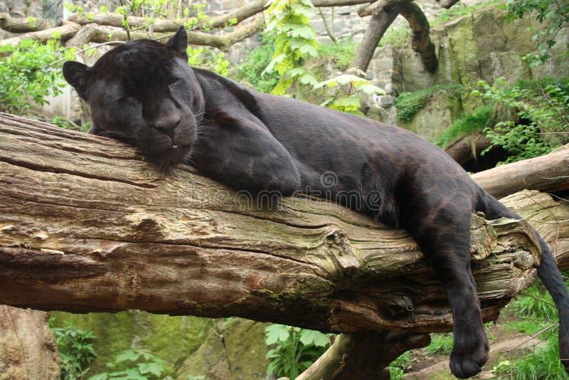 Black Jaguar royalty free stock image