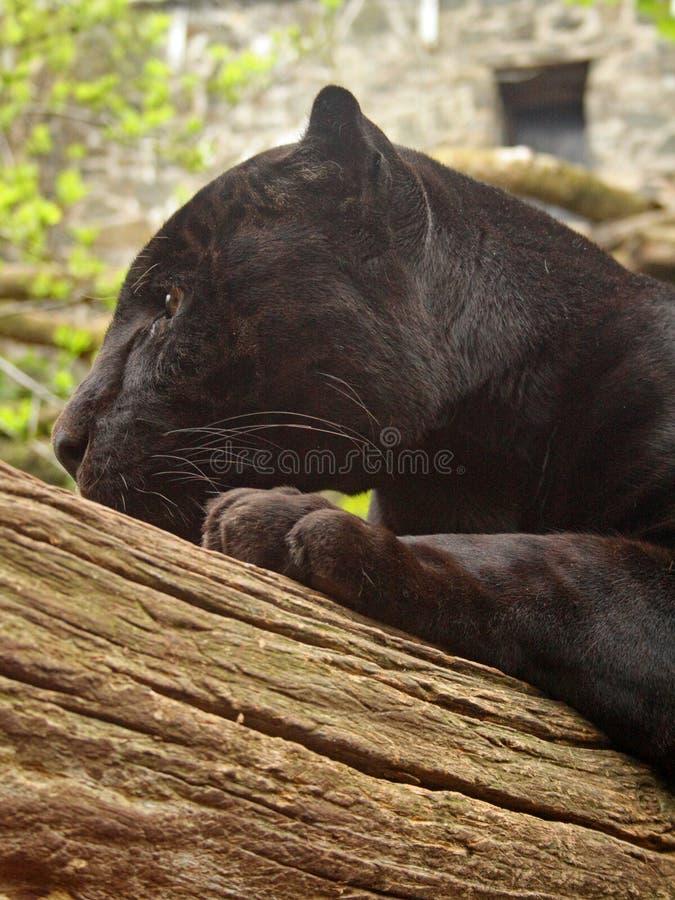 Black Jaguar royalty free stock photo