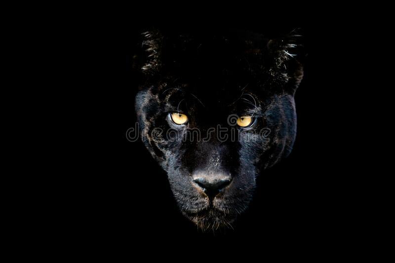 4 796 Black Jaguar Photos Free Royalty Free Stock Photos From Dreamstime
