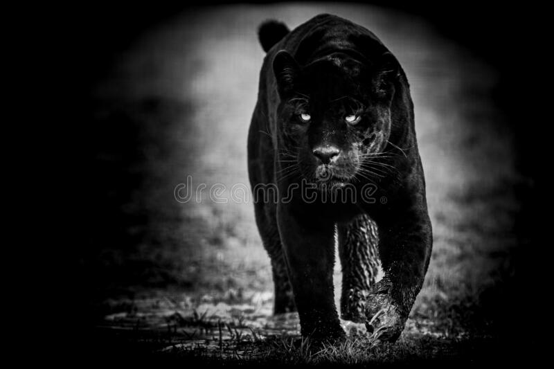 1 317 Black Jaguar Face Photos Free Royalty Free Stock Photos From Dreamstime