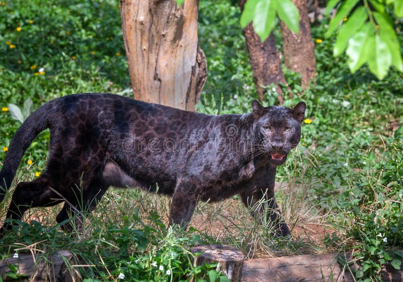 Black Panther in nature. stock photo