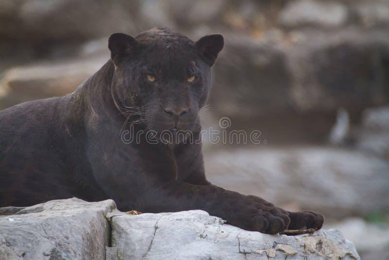 Black Jaguar royalty free stock photos