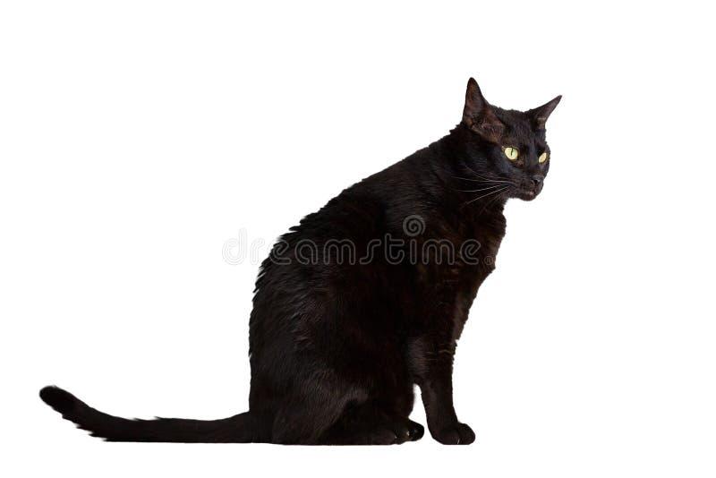 black katten arkivfoto