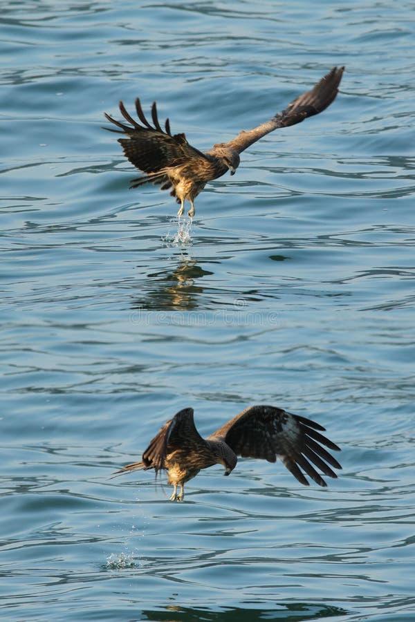 Download Black kite_05 stock photo. Image of golden, raptor, hawk - 15410620