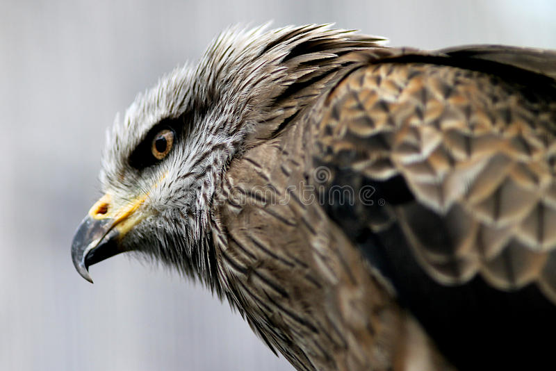 Black Kite royalty free stock photos